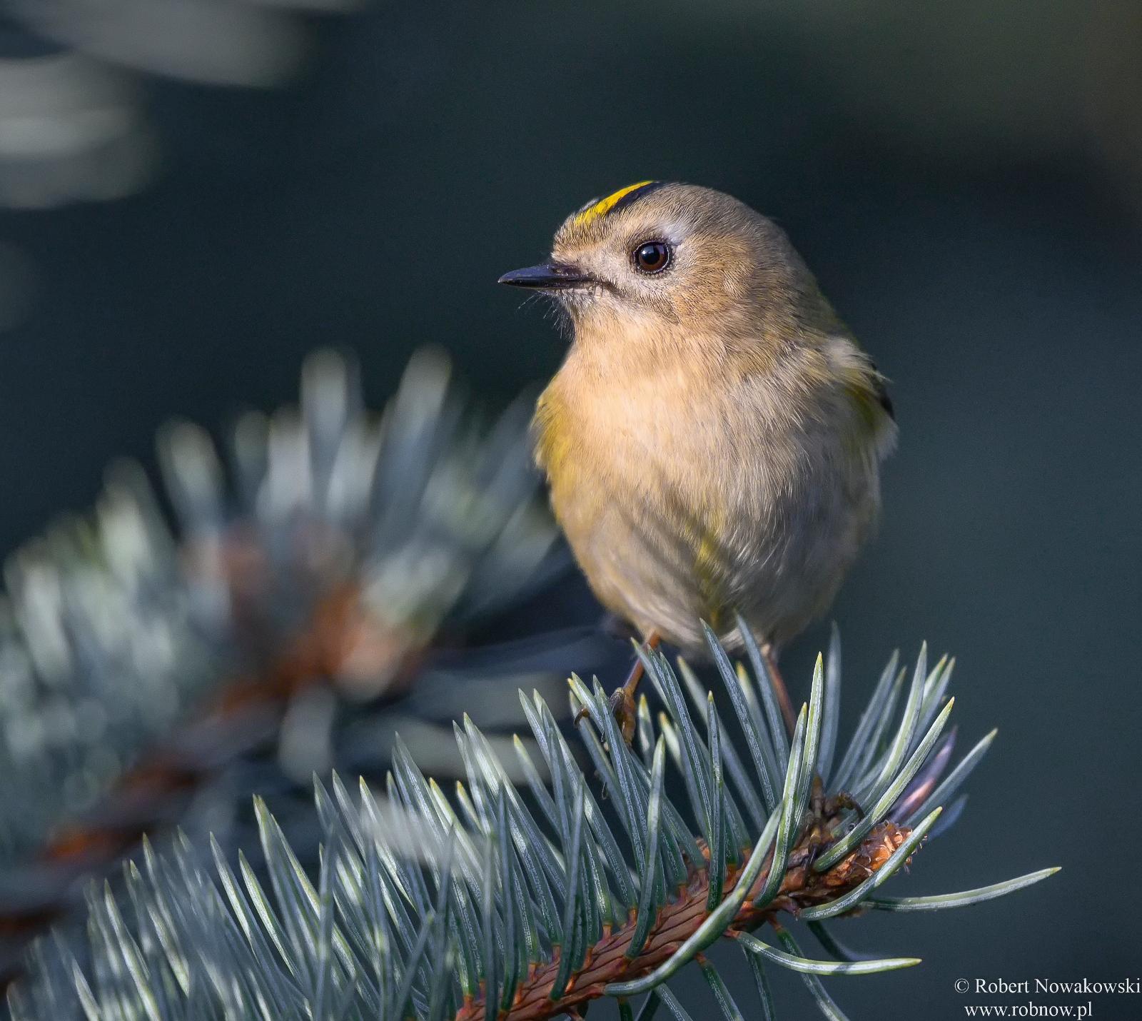 Mysikrólik u nas na wsi... najmniejszy ptak Europy.