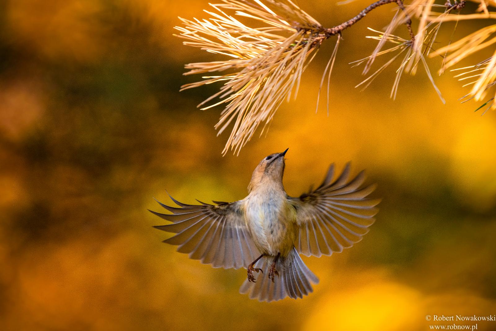 Najmniejszy ptak Europy ...