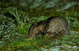Borsuk na polowaniu nocą na polach Sułoszowej...