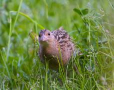 Derkacz przemykający wśród traw na łące ...