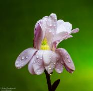 Kwiat magnolii ...