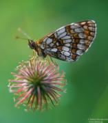Motylek z naszej wsi ...