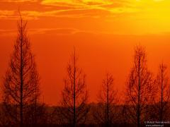 Modrzewie w zachodzącym Słońcu...
