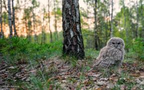 Mały puszczyk o zachodzie Słońca u nas na wsi w lesie...